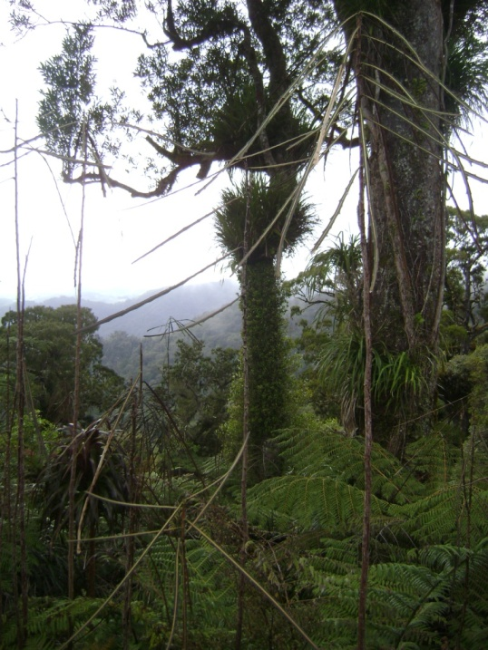 lancewood forest