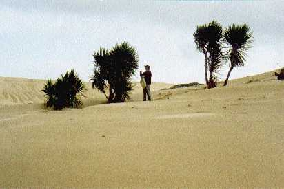 seed collecting cabbage trees in coastal dunes Northland